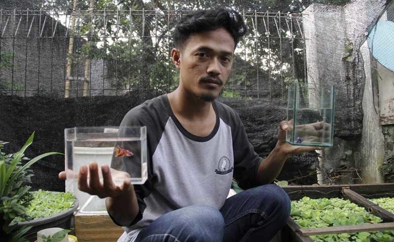 Mulyadi Saputra, Beternak Cupang untuk Usir Nyamuk DBD